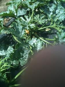 zucchini02.jpg
